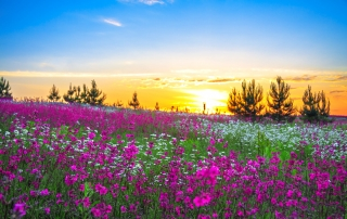 beautiful fields of flower